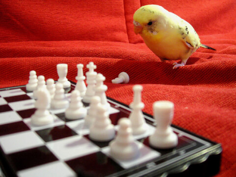 parakeet-chess
