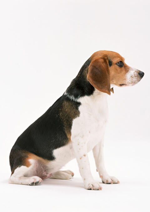 beagle white back