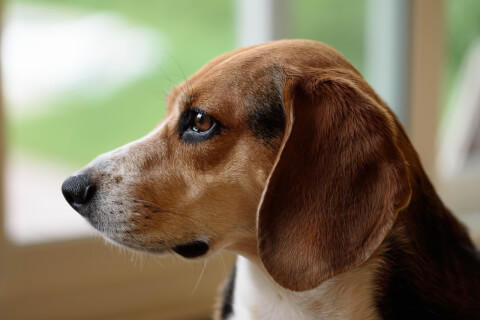 ビーグル 犬 人気 犬種 種類 大型 名前 小型 体重 寿命