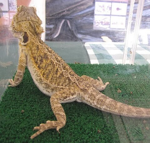 bearded-dragon-brown