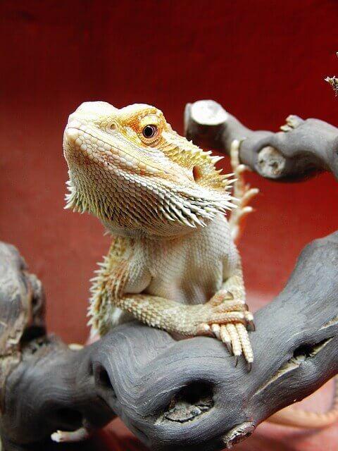 bearded-dragon-pose