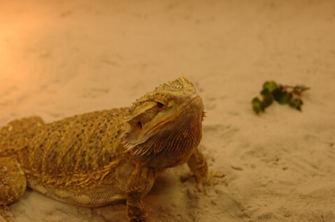 bearded-dragon-sand