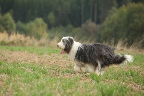ビアデッド コリー 飼い方 牧羊犬 値段