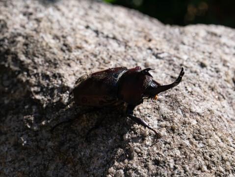 カブトムシ 寿命 卵 幼虫 メス オス 育て方 飼育