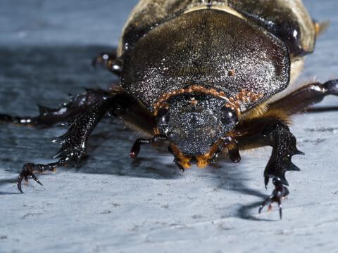 餌 カブトムシ 寿命 卵 幼虫 メス オス 育て方 飼育