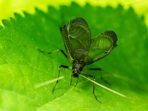鈴虫 寿命 飼育 鳴き声 季節 販売