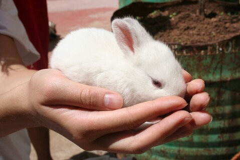 benefits_of_getting_rabbits_from_breeders
