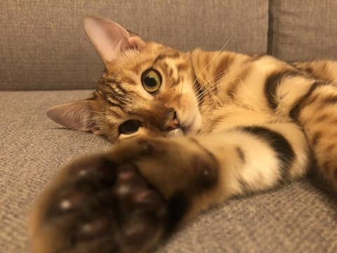 ベンガル 猫 性格 値段 子猫 里親