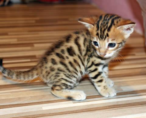 ベンガル猫:ロゼット