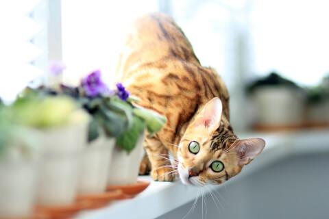 壁によじ登るベンガル猫