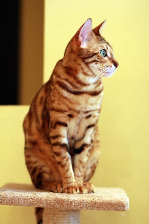 ベンガル猫:グリッター