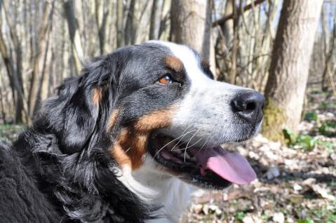bernese-mountain-dog10