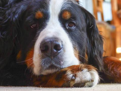 bernese-mountain-dog4