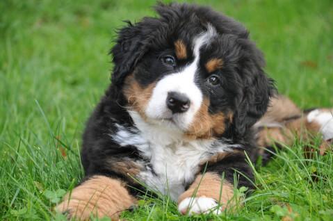 bernese-mountain-dog6