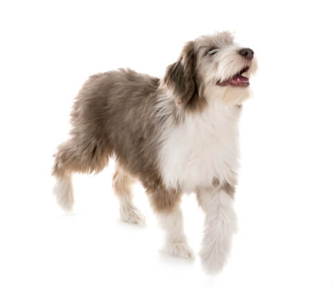 笑顔のビアデッドコリーの子犬