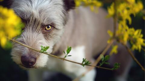 見上げるビアデッドコリーの子犬