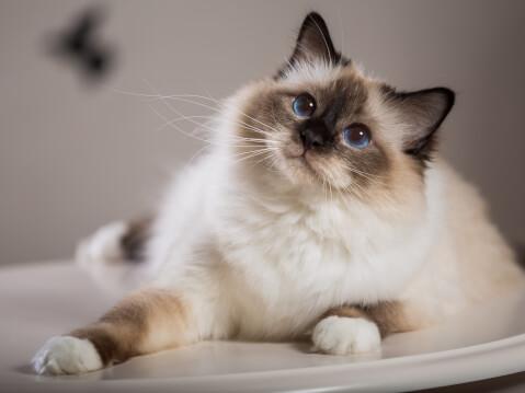 バーマン 猫 長毛種 人気