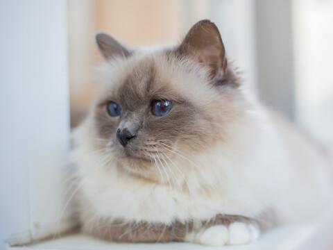 バーマン 猫 性格 値段 子猫 販売 大きさ