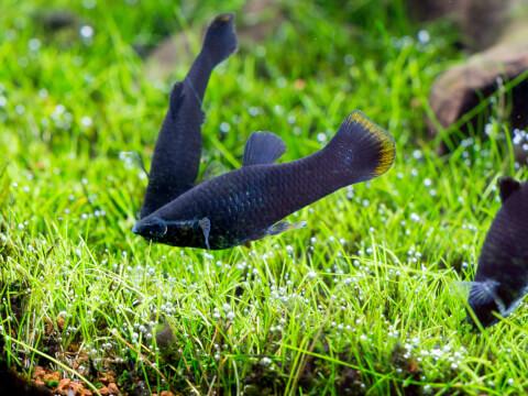 ブラックモーリー 熱帯魚