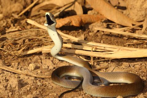 コブラ 蛇 種類 特徴 模様 毒 日本 ブラックマンバ