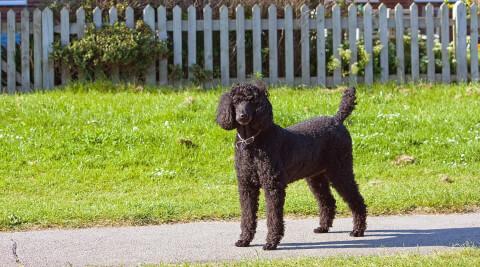 blackpoodles