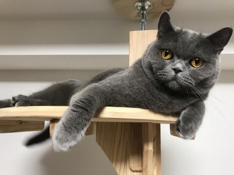 猫 ブリショー ブリティッシュショートヘア 血液型