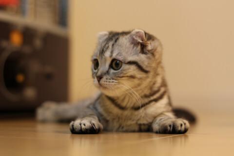 猫 スコティッシュフォールド スコ