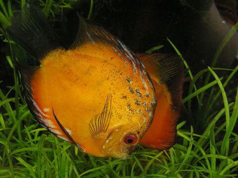 discusfish