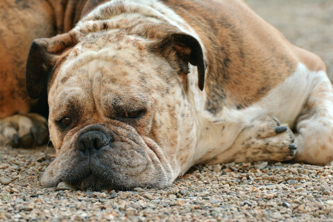 ボクサー 犬 人気 犬種 種類 大型 名前 小型 体重 寿命
