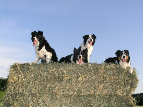 border-collie1