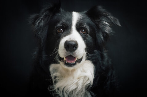border-collie9