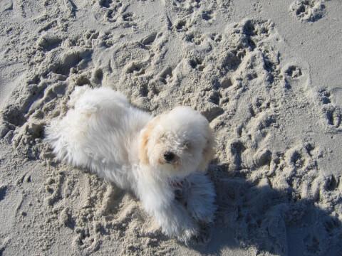 砂浜で伏せるボロニーズの子犬