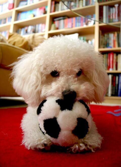 サッカーボールのおもちゃをくわえるボロニーズ