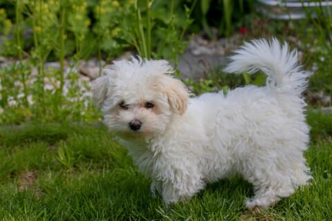 芝生にいるボロニーズの子犬