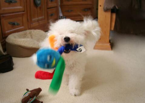 おもちゃで遊ぶボロニーズ