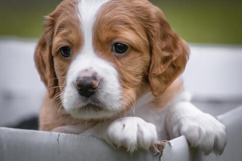 ブリタニースパニエル 性格 しつけ 子犬 飼い方