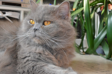 ブリティッシュロングヘア  猫 性格 ペットショップ  飼育 値段