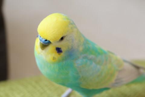 セキセイインコ インコ 鳥 小鳥