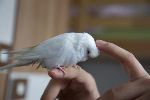 bird_budgerigar_white