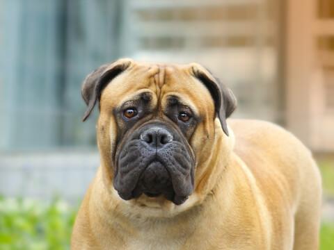 ブルマスティフ 犬 販売 性格 飼育 寿命 ブルドッグ