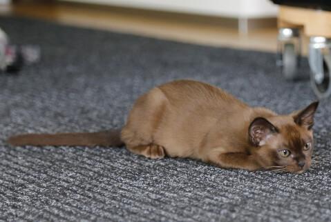 カーペットに伏せるバーミーズの子猫