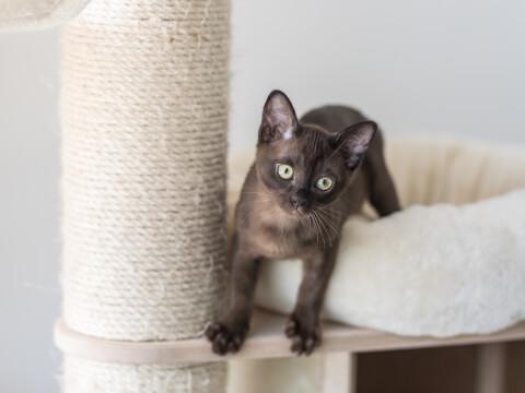 バーミーズ 子猫 キャットタワー