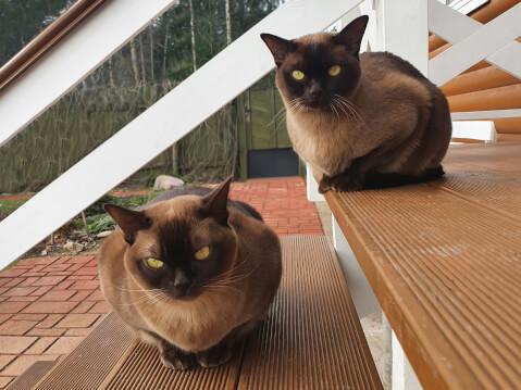 2匹のバーミーズ