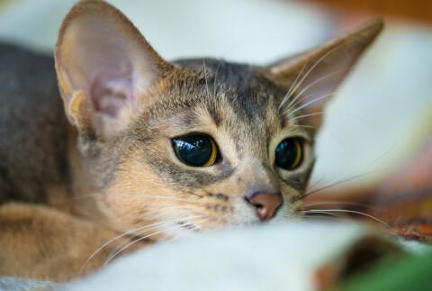 アビシニアン ブルー 子猫 鳴き声 猫 ソマリ 寿命 性格