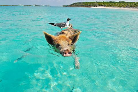 豚 豚 ブタ ミニブタ ペット 飼育 性格 散歩 大きさ 体重
