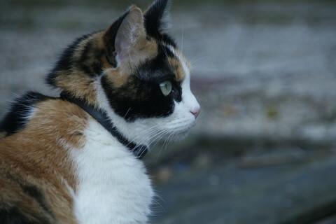 マンチカンの三毛猫