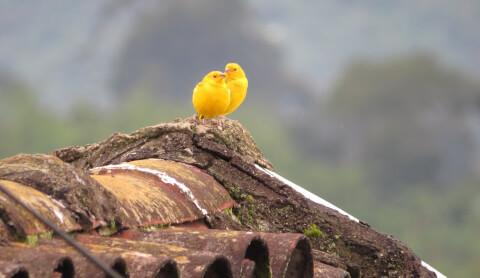 カナリア 種類 寿命 鳴き声 飼育 エサ 性格