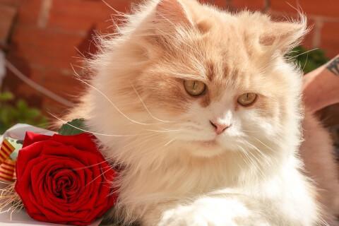 赤いバラと猫