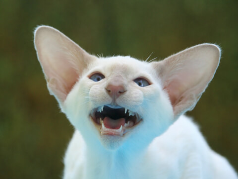 オリエンタルショートヘア 抜け毛 色 子猫 販売 性格
