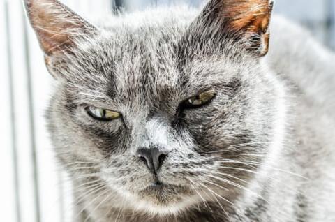 元記事より 灰色の猫の顔アップ